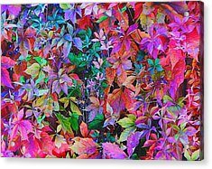 Autumn Virginia Creeper Acrylic Print