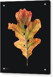 Autumn White Oak Leaf 2 Acrylic Print
