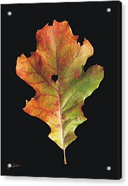 Autumn White Oak Leaf 3 Acrylic Print