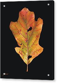Autumn White Oak Leaf Acrylic Print