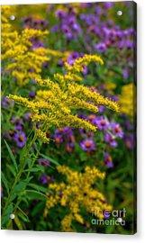 Autumn-wildflowers-goldenrod Acrylic Print by Henry Kowalski