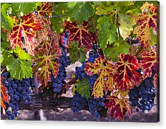 Autumn Wine Grape Harvest Acrylic Print by Garry Gay