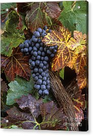 Autumn Zinfandel Cluster Acrylic Print by Craig Lovell