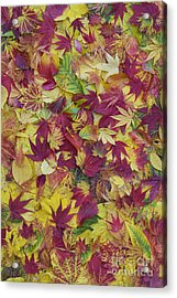 Autumnal Acer Leaves Acrylic Print by Tim Gainey