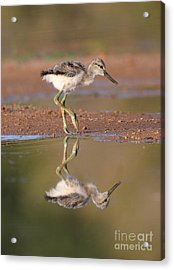 Avocet Chick  Acrylic Print by Ruth Jolly