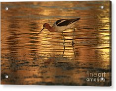 Avocet Gold Acrylic Print