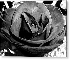 Acrylic Print featuring the photograph Awakened Black Rose by Nina Ficur Feenan