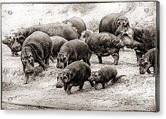 Aware Hippos Acrylic Print