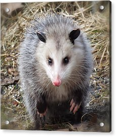 Awesome Possum Acrylic Print