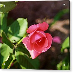 Awesome Rose Acrylic Print by Victoria Sheldon