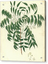 Azadirachta Indica Acrylic Print