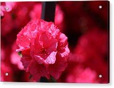 Azalea Bloom Acrylic Print