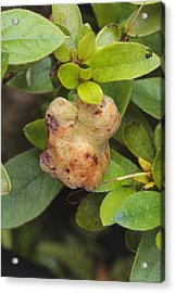 Azalea Gall Acrylic Print by Science Photo Library