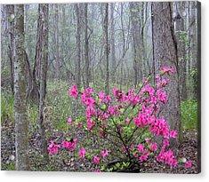 Azaleas In Fog Acrylic Print