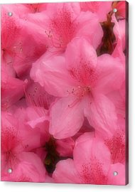 Acrylic Print featuring the photograph Azaleas In Soft Pink by MM Anderson