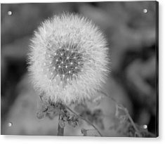 B And W Seed Head Acrylic Print by David T Wilkinson
