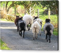 Acrylic Print featuring the photograph Ba Ba Blacksheep by Suzanne Oesterling
