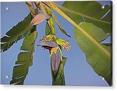Babies Of Banana Acrylic Print