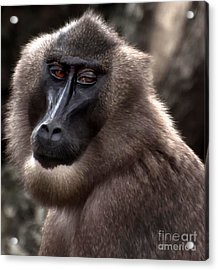 Baboon Acrylic Print by Loriannah Hespe