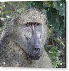 Baboon Portrait Acrylic Print