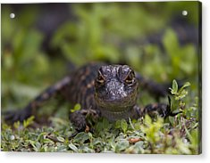 Baby Alligator Acrylic Print by Andres Leon