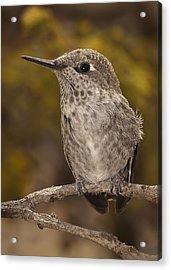 Baby Anna's Hummingbird Acrylic Print