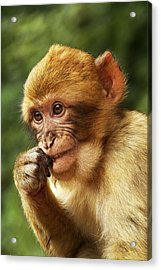 Acrylic Print featuring the photograph Baby Barbary Macaque by Selke Boris