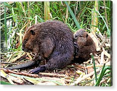 Baby Beaver With Mother Acrylic Print