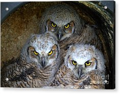 Baby Big Horned Owls Acrylic Print