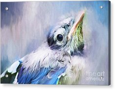 Baby Blue Jay Acrylic Print by Darren Fisher