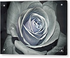 Acrylic Print featuring the photograph Baby Blue Rose by Savannah Gibbs