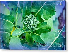 Baby Broccoli - Vegetable - Garden Acrylic Print by Andee Design