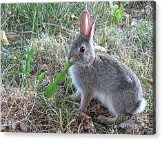 Baby Bunny Eating Dandelion #01 Acrylic Print
