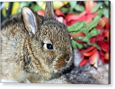 Baby Bunny Rabbit Acrylic Print by Karon Melillo DeVega