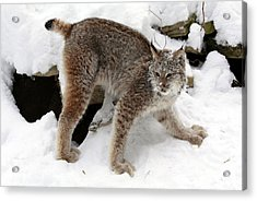 Baby Canadian Lynx Leaving The Winter Den Acrylic Print by Inspired Nature Photography Fine Art Photography