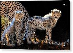 Baby Cheetahs Acrylic Print by Jun Zuo