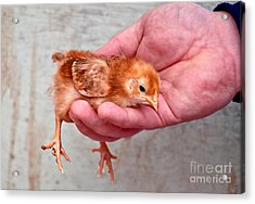 Baby Chick Being Held In Hand Acrylic Print by Valerie Garner