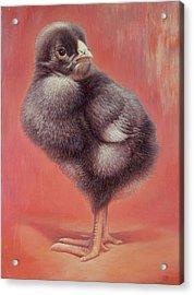 Baby Chick Acrylic Print