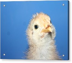 Baby Chicken Acrylic Print by Carolyn Reinhart