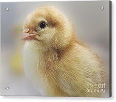 Baby Chicken Acrylic Print
