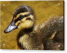 Baby Duck Acrylic Print by Paulette Thomas