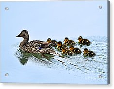 Baby Ducks Follow Acrylic Print