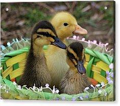 Baby Ducks Acrylic Print by Sandy Keeton