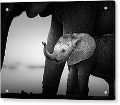Baby Elephant Next To Cow  Acrylic Print