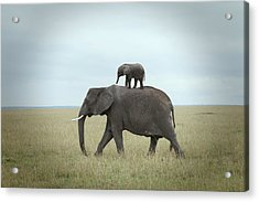 Baby Elephant On The Back Of His Mother Acrylic Print by Buena Vista Images