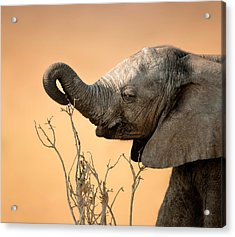 Baby Elephant Reaching For Branch Acrylic Print