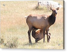 Baby Elk Nursing Acrylic Print