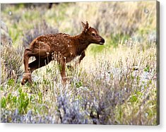 Baby Elk Acrylic Print