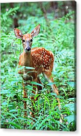 Baby Fawn Acrylic Print by Lorna Rogers Photography