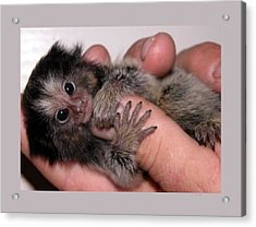 Baby Finger Monkey Light Background Acrylic Print by L Brown